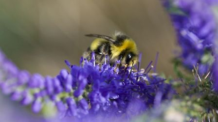 Natural England: A bumble bee by a crop field