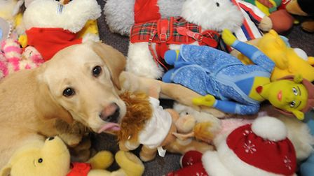 Guide Dog puppy Diamond picks out her favourite stuffed toy donated to the Guide Dogs from a toy amn