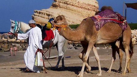 Camels on the beach (oman travel feature, Paul Thomas)