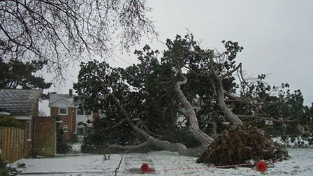 The tree which was blown down at Kendal Green, Old Felixstowe, today.