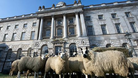 National Sheep Association brings 20 sheep to Somerset House in London