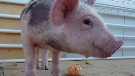 Pigs have been seen on the roads on the Suffolk/Norfolk border
