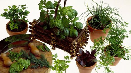 A selection of potted herbs