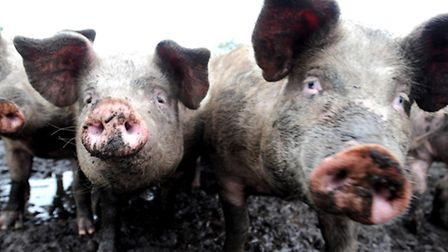 Some home-grown Suffolk pigs.The National Pig Association is seeking to turn the spotlight on import