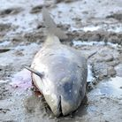 The female porpoise which became stranded near the Orwell Bridge.
