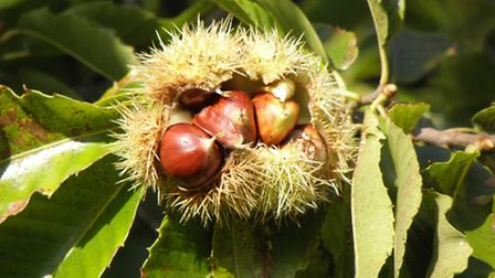 Reader Pic - Sending you some pictures for Your Picture section of the Star,they are sweet chestnuts