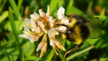 bumble-bee-s-on-the-clover-201