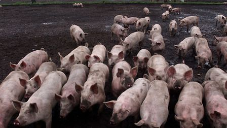 The National Pig Association has issued a warning about moves to lift a ban on feeding kitchen and c