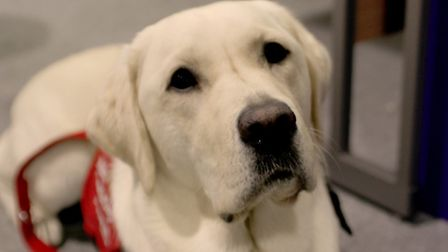 Magic, an 18 month old medical detection dog, who is trained to alert his owner of an impending diab
