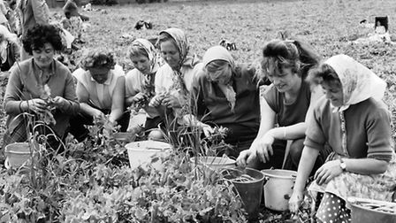 Pea-pickers hard at work in days gone by