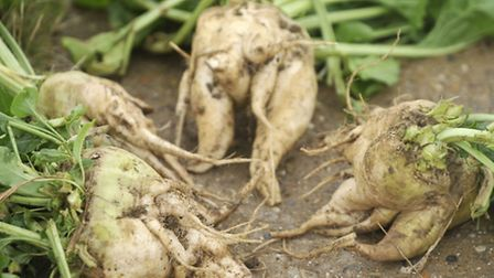 David Black and Son's Sugar beet farm in Stowmarket is producing fangy beets that split and form add