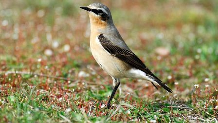 A wheatear. Picture: Courtesy of Claire Appleby