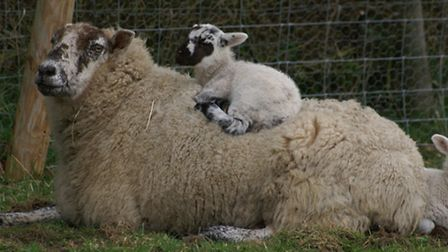 The NFU says electronic tagging of lambs will be costly