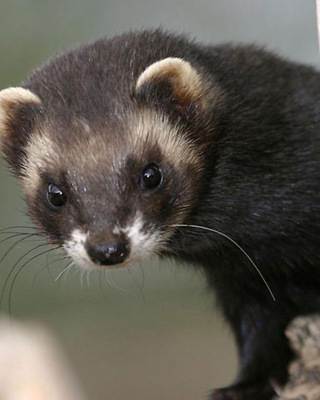 The polecat, which was once teetering on the brink of extinction, may have returned to Suffolk