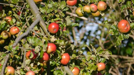 The largest community orchard in Suffolk could be created in Debenham