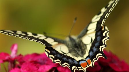 Nice to see the Swallowtails at Strumpshaw Fen today. Photo by Gavin Bickerton-Jones
