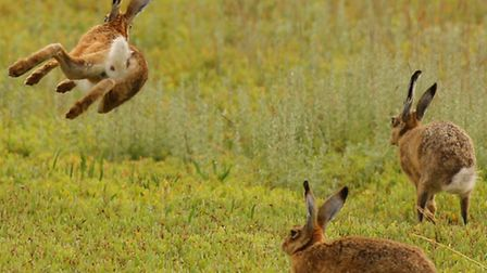 Hares enjoying a bit of spring sun, submitted by iwitness contributor Frances Crickmore