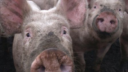 The National Pig Association wants to see action to prevent the spread of swine fever to these shore