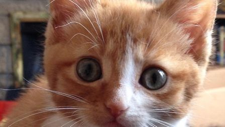 Tracey Augood's cat Flash as a kitten