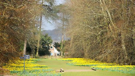 Nowton Park daffodils have flowered well this year.