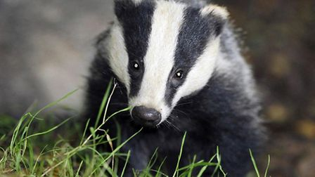 A badger cull report was released today
