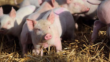 Pig farmers and those involved in the industry have been on high alert since African Swine Fever was