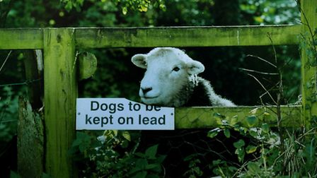 The National Sheep Association has launched a survey of incidents of dogs worrying sheep