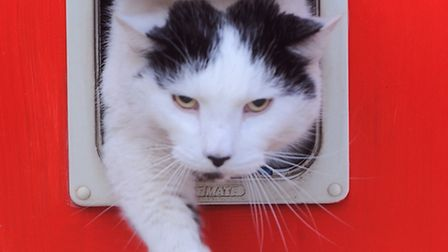 Large cat called Demetri with owner Camille Berriman. Demetri struggling to get through cat flap.