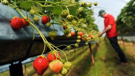 Andrew Sturgeon is pictured in Lindsey with his early crop of strawberries.