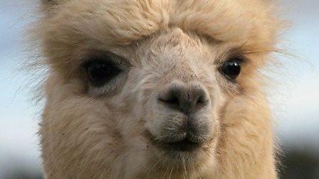 Alpacas will be in the arena at the Eye Family Fun Day. Picture: Woodbine Farm Alpacas