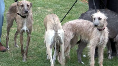 Lurchers will be on show at the dog show - one of the events at the Eye Family Fun Day. Picture: Ali