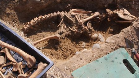 Has the legendary Black Shuck been found? This rather large dog skeleton was uncovered in the south