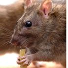 """A scientist is warning of an invasion of """"super rats"""""""