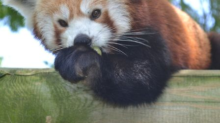 Drusillas Park's red panda Mulan enjoys a tasty bamboo treat courtesy of Home from Home Property Man