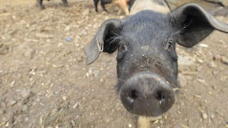 More than 100 piglets have been stolen from a farm