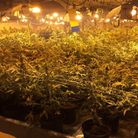 A man was arrested after more than 3,500 cannabis plants were found in three barns in Ardleigh