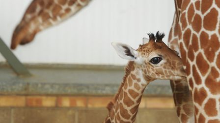 Africa Alive welcomes it's newest resident. A baby giraffe born on 26th July. Pictured with mum Kiar
