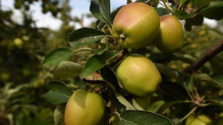 Braeburn apples in an orchard at Stocks Farm in Worcestershire.