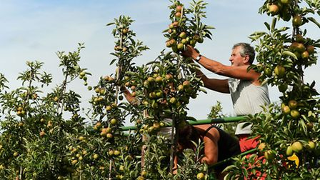 Workers thin trees in the Braeburn apple orchard at Stocks Farm in Worcestershire ahead of the start
