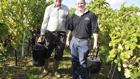 Leslie Hardy and Angus Crowther pick Pinot Meunier grapes at Tuffon Hall in Sible Hedingham.