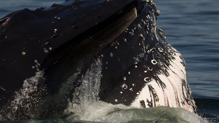 A humpback whale pictured in Quebec, Canada. Credit: Carl Chapman, Wildlife tours and Education
