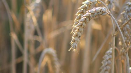 Wheat yields are expected to reach a record high, but farmers' leaders are lobbying for tighter rest