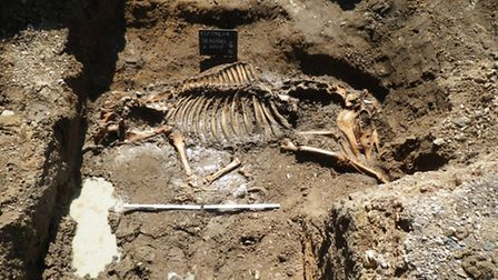 The skeleton of an unknown horse that could be legendary stallion Doctor Syntax, or owned by the roy