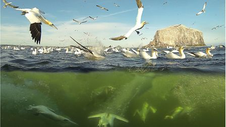 Above and under water GoPro shot of gannets in Scotland, at Bass Rock