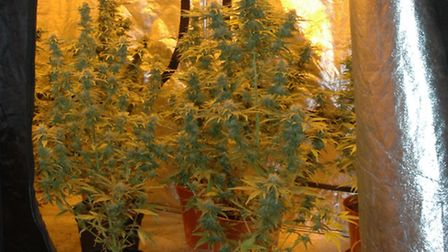 Cannabis plants found in an Ipswich property