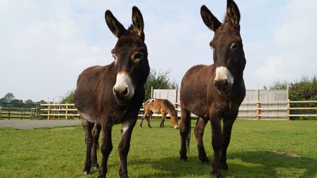 Stanley the donkey, Riley the hinny and Herbert the donkey at the Redwings Santuary. Picture: Redwin