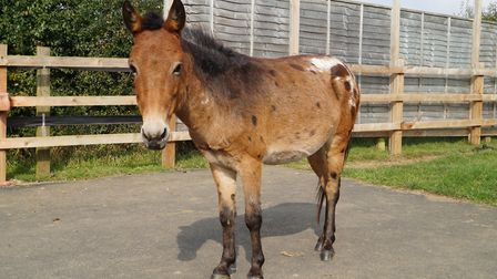 Riley the hinny has been saved from being put down by the team at the Redwings Horse Sanctuary. Pict