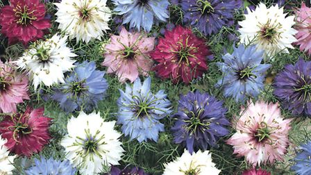 Thompson & Morgan's Persian Jewels Mixed Nigella flowers, seeds for which featured on BBC1's The Ap