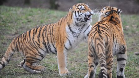 Tigers playing at Banham Zoo. Picture: Sonya Duncan