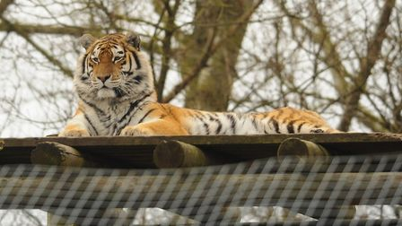 An Amur tiger watching visitors at Banham Zoo. Picture: DENISE BRADLEY